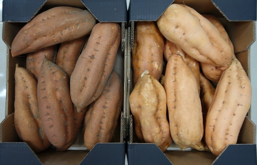 Boniato o batata de calidad de España para exportar. Sweet potato to export from Spain