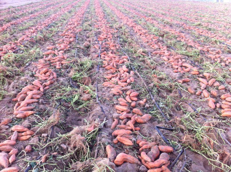 Boniato o batata de calidad para exportar desde España, Spain