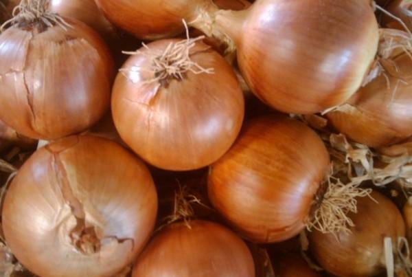 Cebolla variedad Grano de España para exportar. Onions from Spain to export
