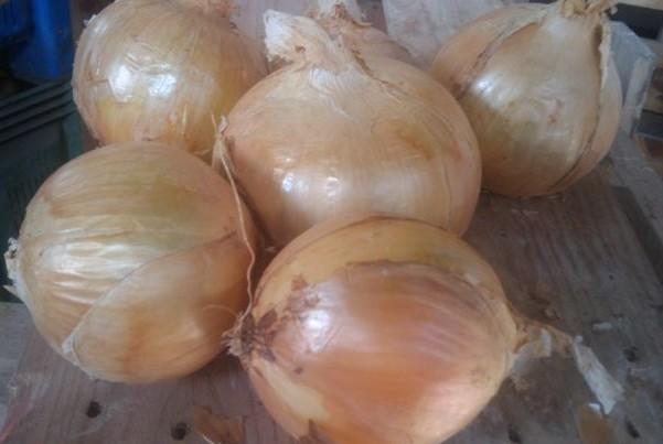 Cebolla variedad llíria